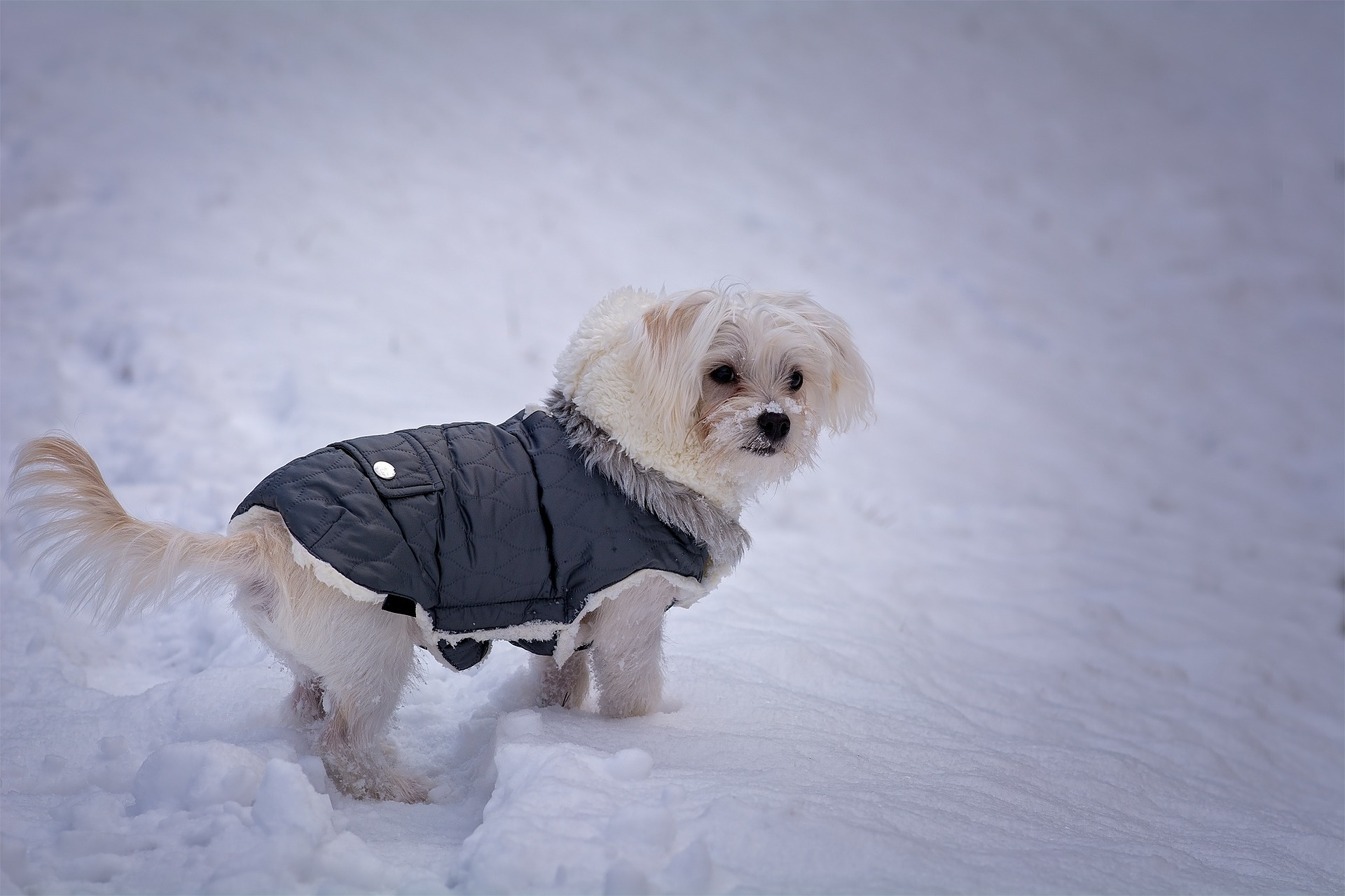 A dog wearing a winter jacket